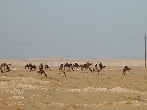 Camels along the way