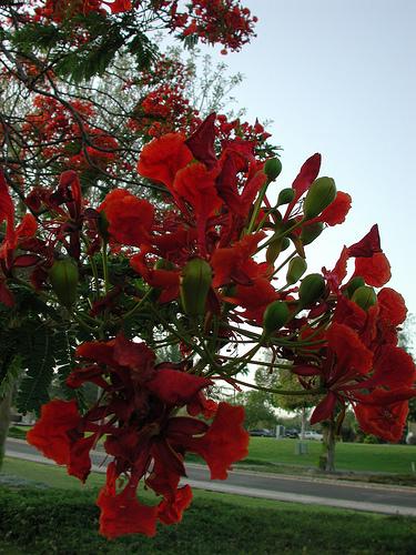 Flowering Tree (1)
