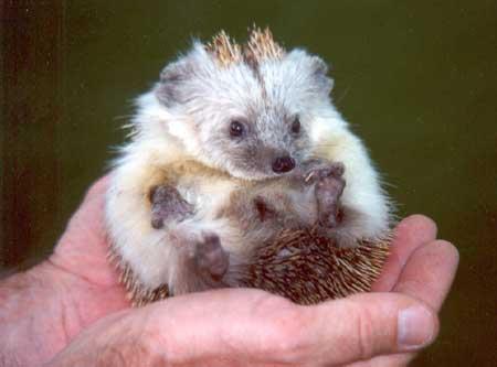 Saudi Hedgehog
