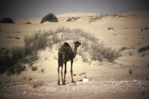 Newborn Camel - 1980