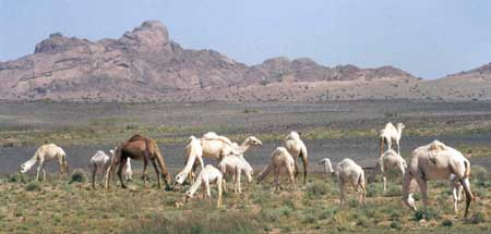 White Camels