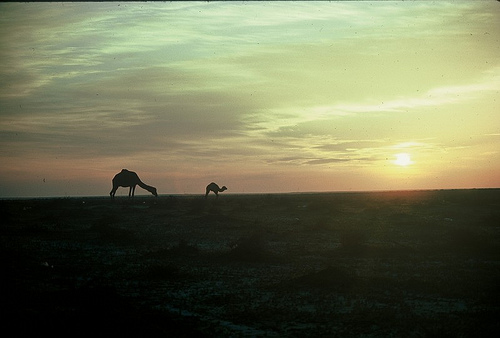 Camel Races Near Manifa