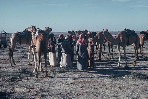 Camel Races Near Manifa (4)