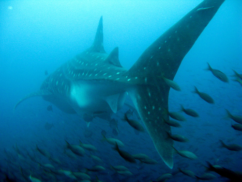 Diving Galapagos! (14)