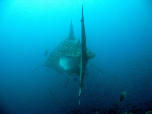 Diving Galapagos! (15)