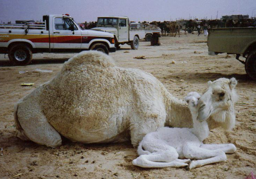 Camel Market in Hofuf