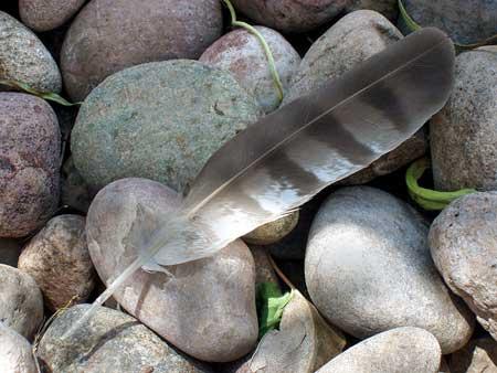 Gray Hawk Feather