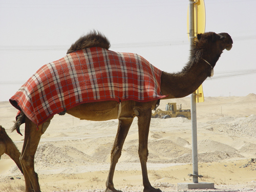 Camel with a Scottish Tartan Blanket
