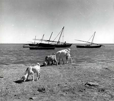 Dhows and Goats