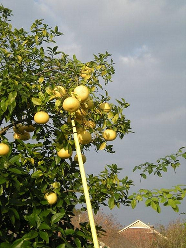 Picking Grapefruit (1)