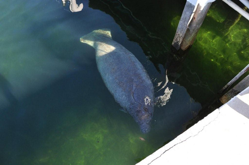 Manatee in the Bahamas