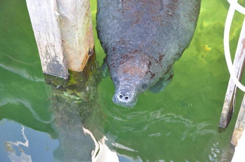 Manatee in the Bahamas (1)