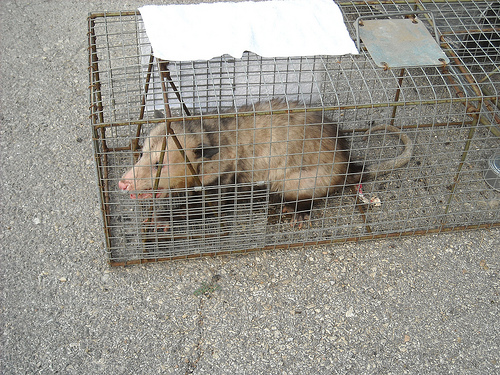 Possum Catch (2)