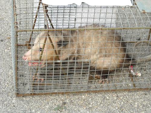Possum Catch (1)