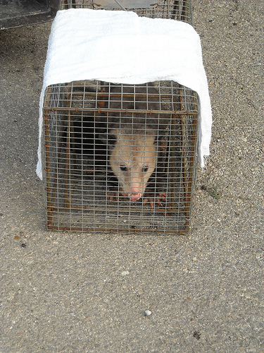 Possum Catch