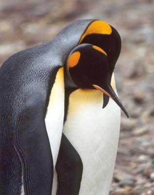 Snuggling King Penguins