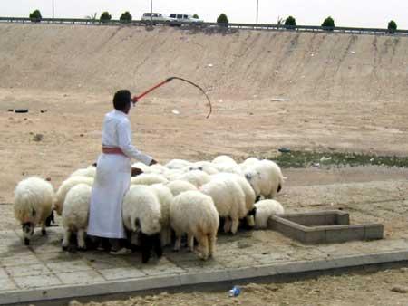 Herding Sheep to Market