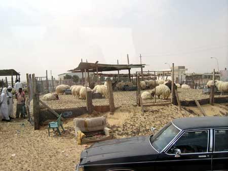 Hofuf Sheep Market